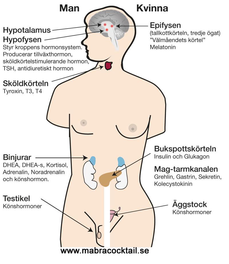 by i usa kryssord hormoner i kroppen