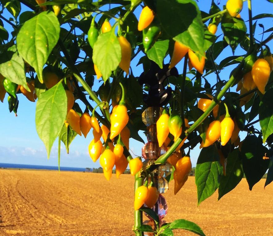 Chili citrus
