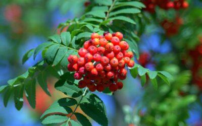 Rönnbär superbäret för vår hälsa